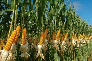 maiz para cosechar
