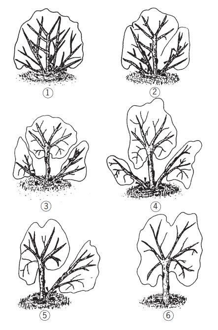 ejemplo de poda del olivo