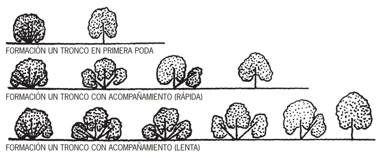 fases de la poda del olivo