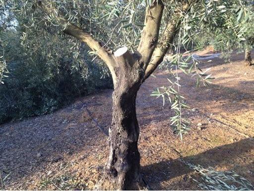 olivo podado